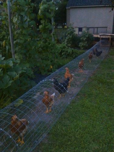 Tunel in gradina pentru pasari de curte