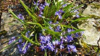 Scilla bifolia - viorele
