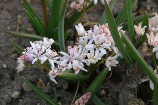Scilla bifolia Rosea - viorele culoare roz