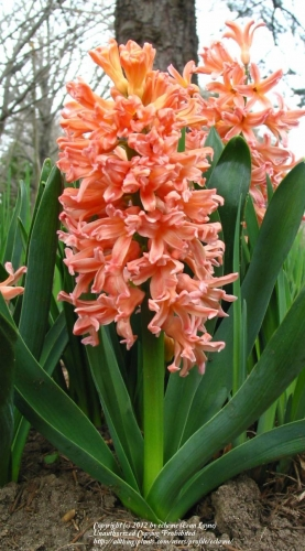 Zambila portocalie Hyacinthus orientalis